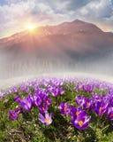 Mola floral da montanha Fotografia de Stock