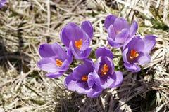 Mola, flores, florescência colorida dos açafrões Fotos de Stock Royalty Free