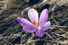 Mola, flores, florescência colorida dos açafrões Imagens de Stock Royalty Free