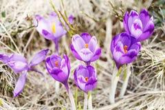 Mola, flores, florescência colorida dos açafrões Imagem de Stock