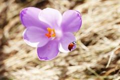 Mola, flores, florescência colorida dos açafrões Foto de Stock