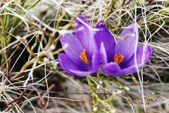 Mola, flores, florescência colorida dos açafrões Fotografia de Stock