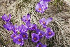 Mola, flores, florescência colorida dos açafrões Imagem de Stock Royalty Free