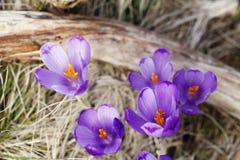 Mola, flores, florescência colorida dos açafrões Fotos de Stock