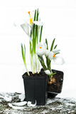 a mola floresce açafrões Fotografia de Stock Royalty Free