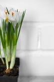 a mola floresce açafrões Imagens de Stock Royalty Free