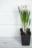 a mola floresce açafrões Imagem de Stock