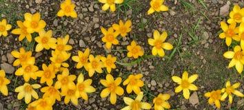 A mola floresce açafrões amarelos frescos Imagem de Stock