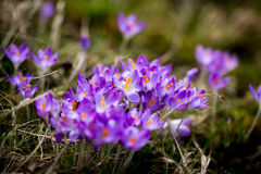 A mola floresce açafrões dos snowdrops Fotografia de Stock Royalty Free