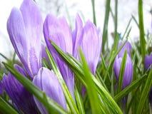 A mola floresce açafrões no jardim Fotos de Stock