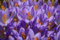 a mola floresce açafrões primroses A região de Leninegrado Imagem de Stock