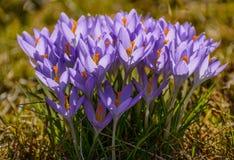 a mola floresce açafrões primroses A região de Leninegrado Imagens de Stock