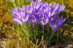a mola floresce açafrões primroses A região de Leninegrado Imagem de Stock Royalty Free