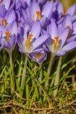 a mola floresce açafrões primroses A região de Leninegrado Foto de Stock