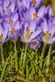 a mola floresce açafrões primroses A região de Leninegrado Fotografia de Stock Royalty Free