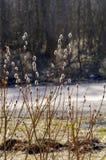 a mola floresce açafrões primroses A região de Leninegrado Fotos de Stock Royalty Free