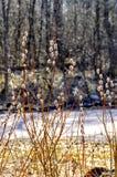 a mola floresce açafrões primroses A região de Leninegrado Fotos de Stock