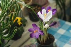 A mola floresce açafrões roxos em uma tabela pela janela no r Imagem de Stock Royalty Free