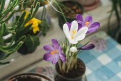 A mola floresce açafrões roxos em uma tabela pela janela no r Imagem de Stock