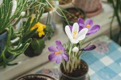 A mola floresce açafrões roxos em uma tabela pela janela no r Imagens de Stock Royalty Free