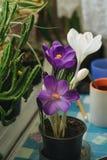 A mola floresce açafrões roxos em uma tabela pela janela no r Fotografia de Stock Royalty Free