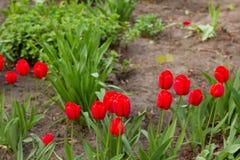 A mola floresce a bandeira - grupo de flores vermelhas da tulipa no fundo da terra no parque Foco seletivo Fotografia de Stock