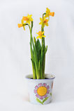 A mola floresce em um potenciômetro branco - jardim Fotos de Stock Royalty Free