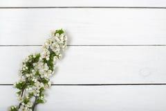 A mola floresce a flor na opinião superior do fundo de madeira branco da tabela Imagem de Stock