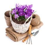 A mola floresce na cesta de vime com ferramentas de jardim Foto de Stock Royalty Free