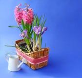 A mola floresce na cesta e na lata molhando branca Fotografia de Stock Royalty Free