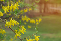 A mola floresce no dia de mola frio com luz solar e sopro mornos Fotografia de Stock Royalty Free