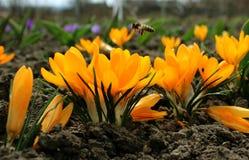 A mola floresce - o açafrão amarelo no jardim Fotos de Stock