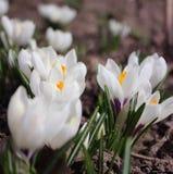 A mola floresce - o açafrão branco no jardim, fundo Imagens de Stock Royalty Free