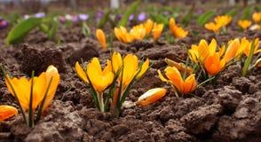A mola floresce - o crocuse amarelo e roxo no jardim Foto de Stock Royalty Free