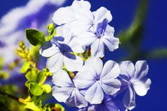 A mola floresce - o fundo floral da mola natural com flores Foco nas flores da mola Opinião da natureza da mola de flores da mola Fotografia de Stock