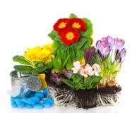 A mola floresce o hyacinth, o açafrão e o primula Fotografia de Stock Royalty Free