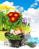 A mola floresce o hyacinth, o narciso e o primula Imagens de Stock Royalty Free