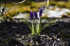 A mola floresce, os açafrões que florescem no jardim O tempo de mola… aumentou as folhas, fundo natural Fotos de Stock Royalty Free