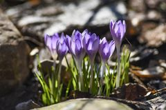 A mola floresce, os açafrões que florescem no jardim O tempo de mola… aumentou as folhas, fundo natural Imagens de Stock Royalty Free