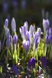 A mola floresce, os açafrões que florescem no jardim O tempo de mola… aumentou as folhas, fundo natural Imagem de Stock