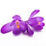 A mola floresce os açafrões roxos isolados em um fundo branco Imagens de Stock Royalty Free