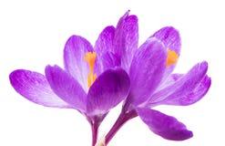 A mola floresce os açafrões roxos isolados em um fundo branco Imagem de Stock
