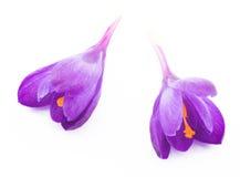 A mola floresce os açafrões roxos isolados em um fundo branco Fotos de Stock Royalty Free