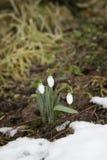A mola floresce snowdrops (Galanthus) em uma floresta na mola Fotos de Stock Royalty Free