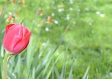 A mola fresca bonita floresce a natureza das tulipas, profundidade rasa do conceito do campo Foto de Stock Royalty Free