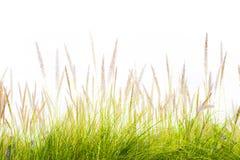 Mola fresca da grama verde da flor isolada Foto de Stock Royalty Free