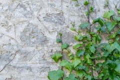 A mola fresca esverdeia com a planta da flor branca e da folha sobre o fundo de madeira da cerca imagem de stock royalty free