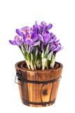 A mola fresca floresce açafrões Imagem de Stock