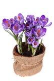 A mola fresca floresce açafrões Imagens de Stock Royalty Free