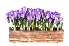 A mola fresca floresce açafrões Fotos de Stock